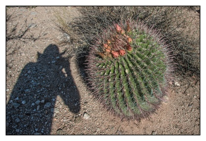 Barrel Cactus (1 of 1)-2 blog