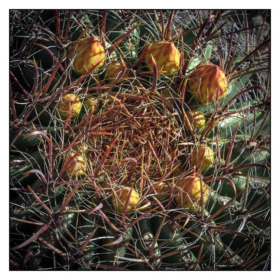 Barrel Cactus (1 of 1) blog