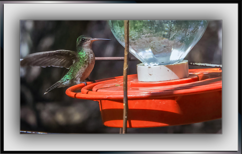 Broad-bill Hummingbird (1 of 1)-5 blog