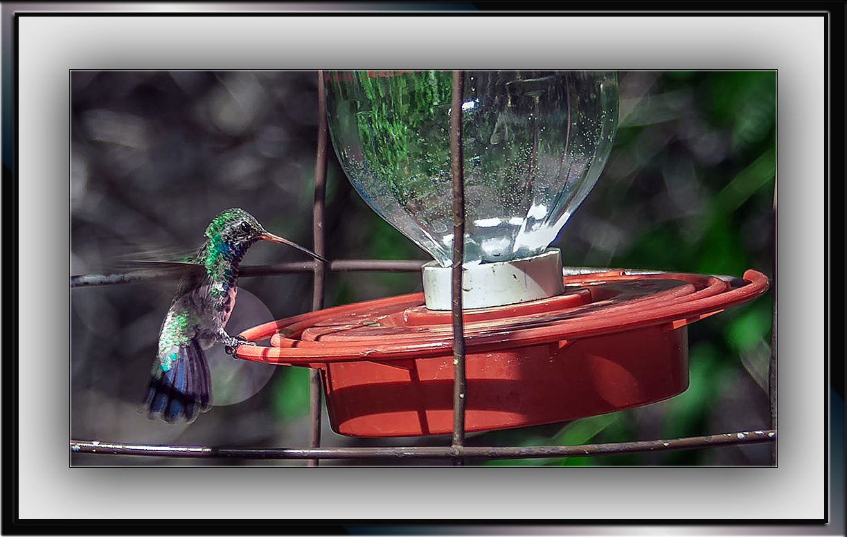 Broad-billed Hummingbird (1 of 1) blog