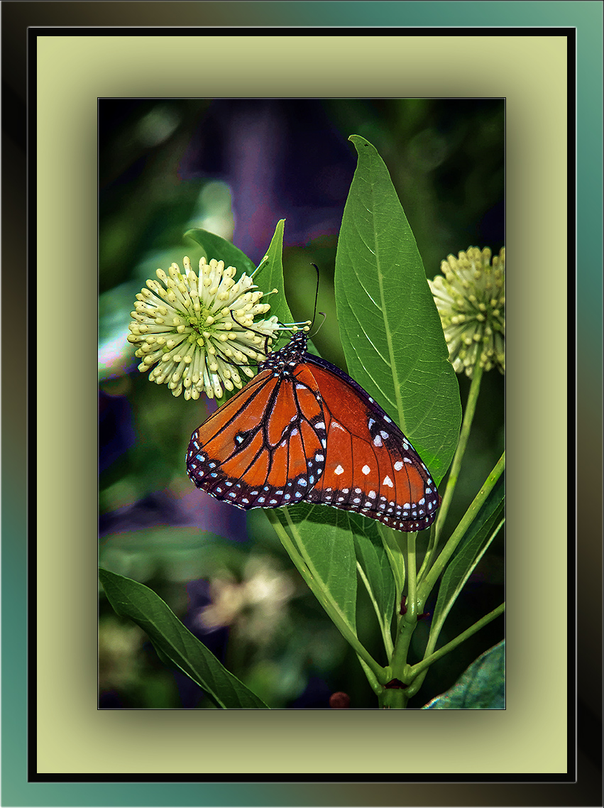 Buttonbush and Viceroy butterfly (1 of 1)-2 blog