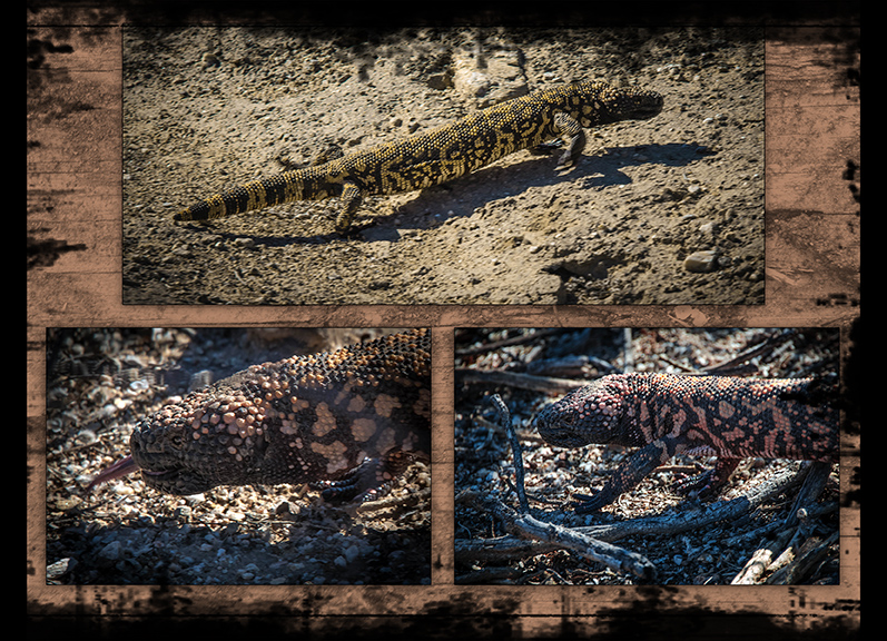 Gila Monster Collage blog