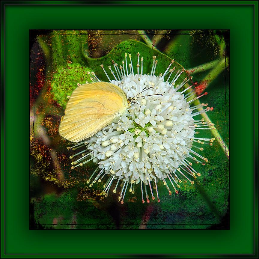 Lyside Sulphur Butterfly blog