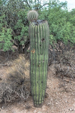 Saguaro damaged (1 of 1)-2 blog