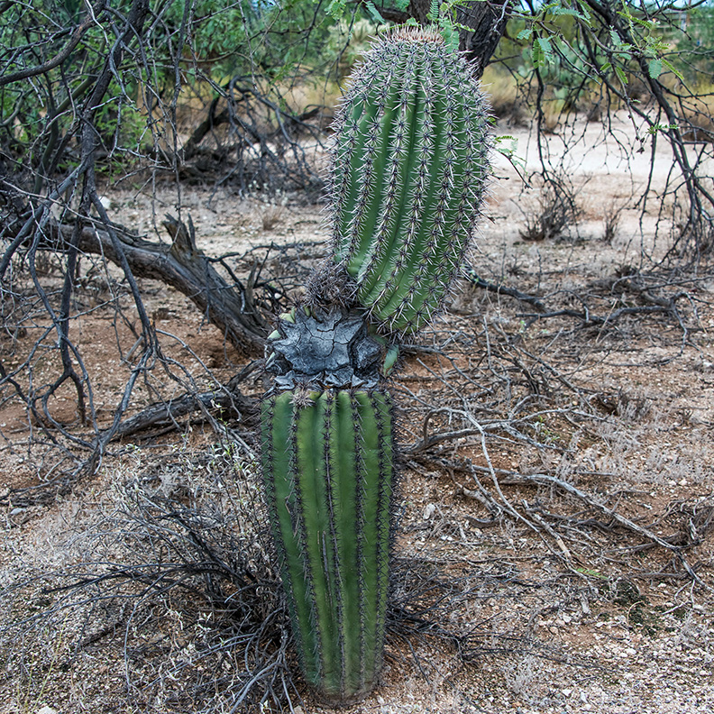 Saguaro damaged (1 of 1)-7 blog