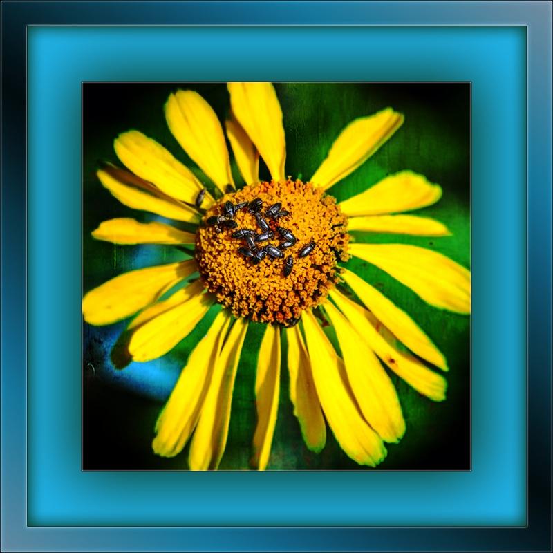 Sneeze weed (1 of 1)with beetles Art blog