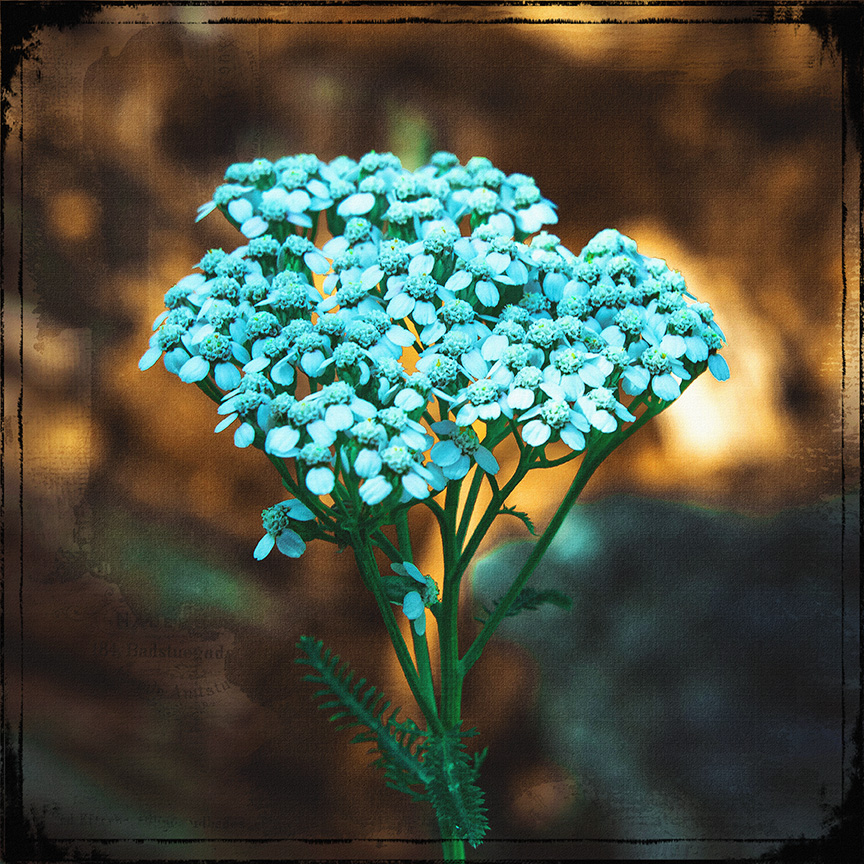 Yarrow Wildflower (1 of 1)-art blog