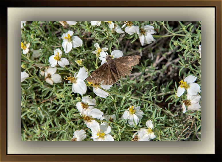 Acacia Skipper (1 of 1)