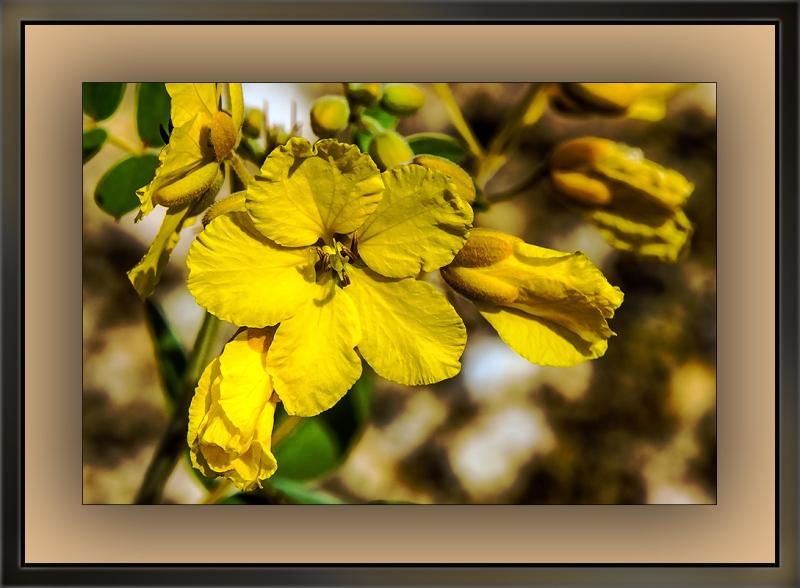 Desert Senna (1 of 1)-3 blog