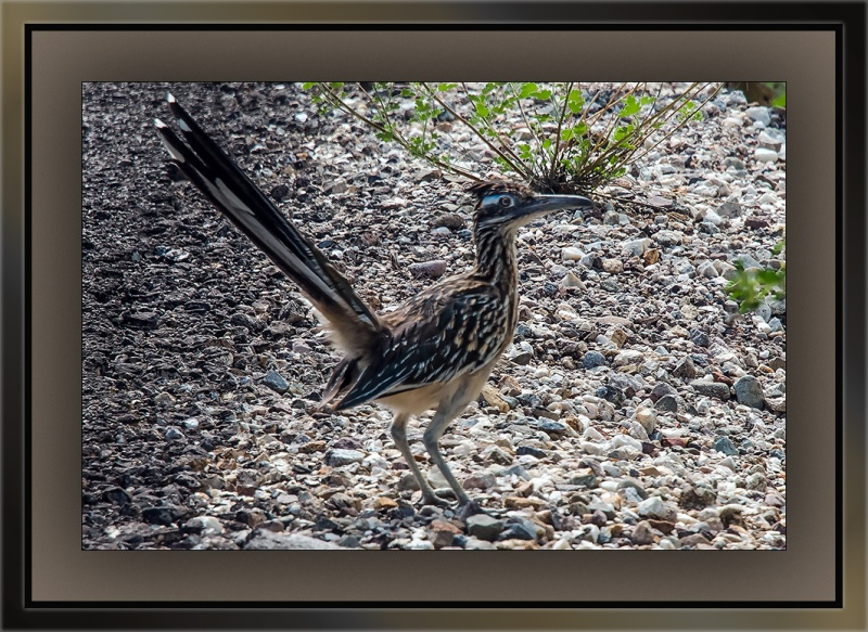 Roadrunner (1 of 1)-2 blog