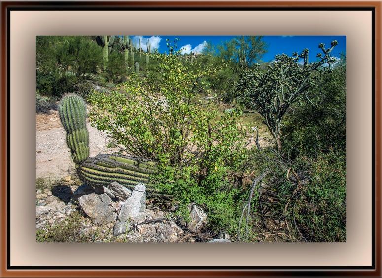 Saguaro Cactus blog