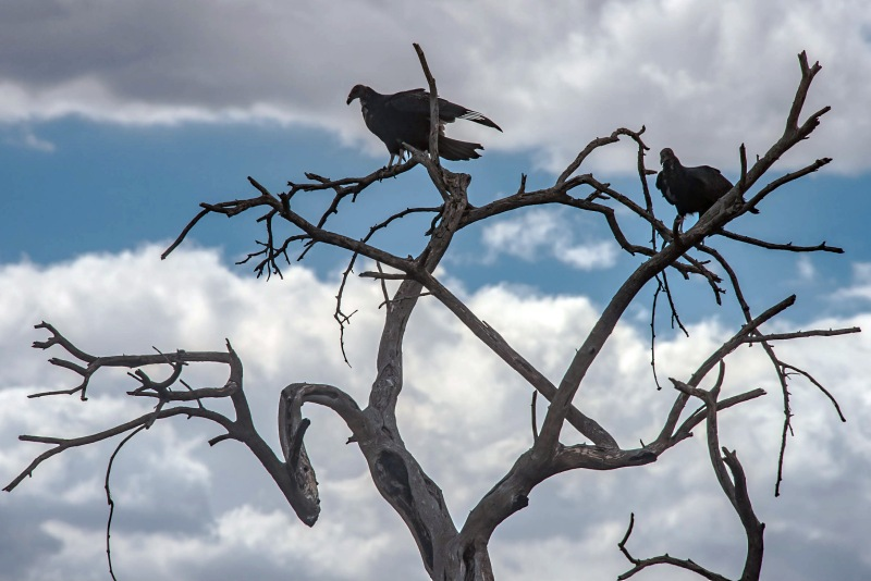 Vultures (1 of 1)-13