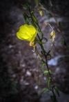 Guthrie Peak Cutleaf evening primrose (1 of 1)-2blog