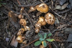 Guthrie Peak Mushrooms (1 of 1)blog
