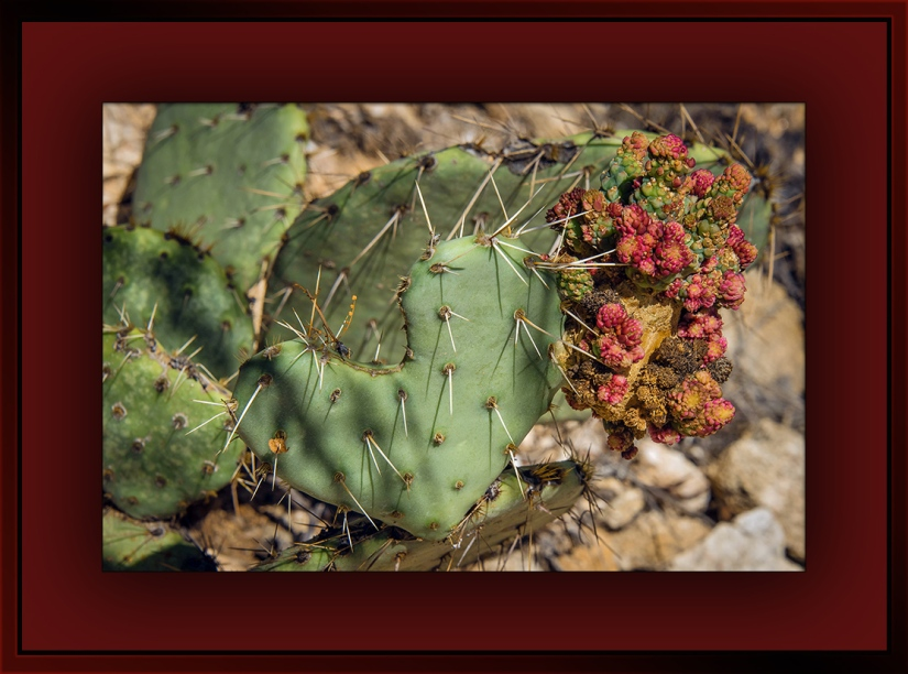 Prickly Pear Growth Cluster (1 of 1)-18 blog