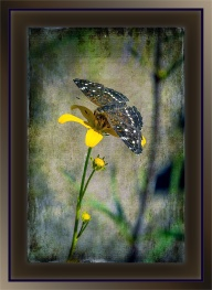 Texas Crescent on Bur Marigold (1 of 1). grunge art blog