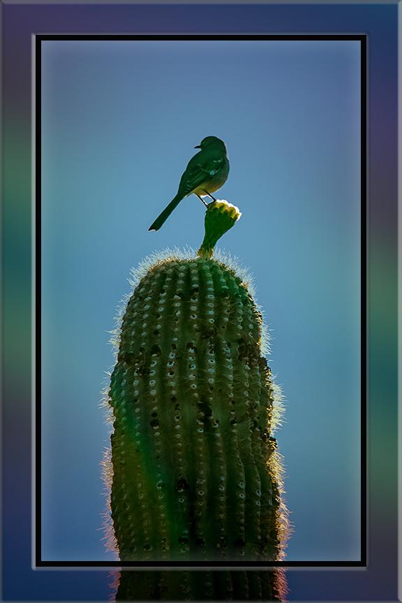 Cactus Wren (1 of 1) blog
