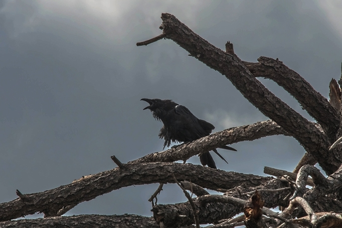 Raven Calling In The Storm (1 of 1) blog