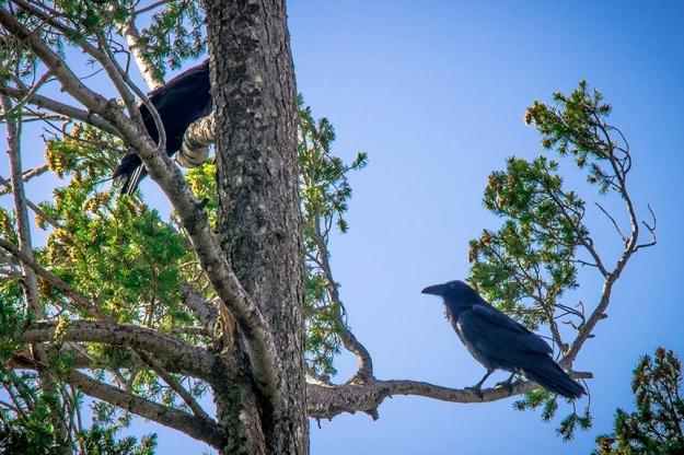 Ravens (1 of 1) blog