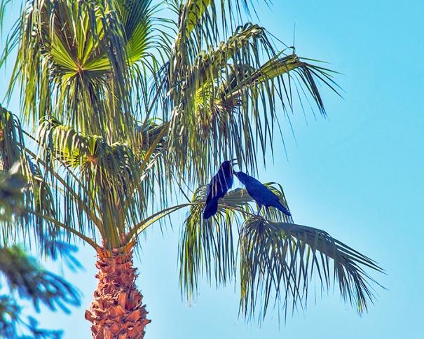 Ravens In Palm Tree-4091 blog