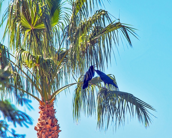 Ravens In Palm Tree-4091 blog