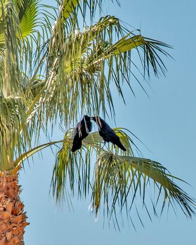 Ravens In Palm Tree-4095 blog