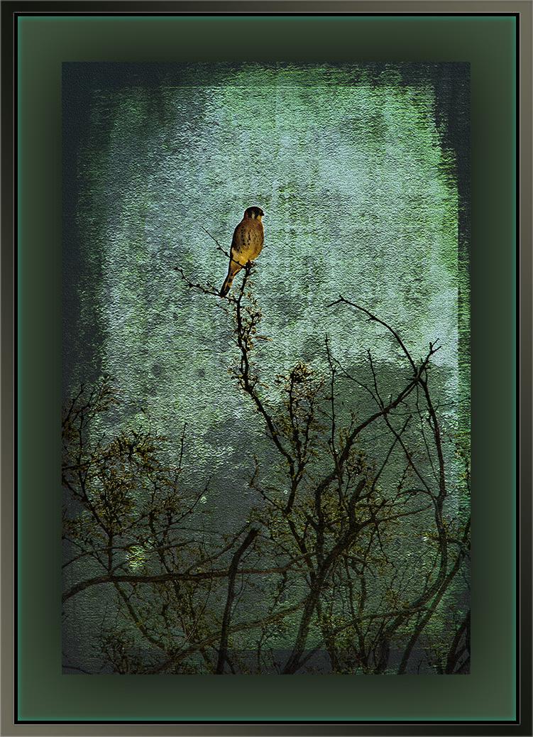 American Kestrel (1 of 1) art blog