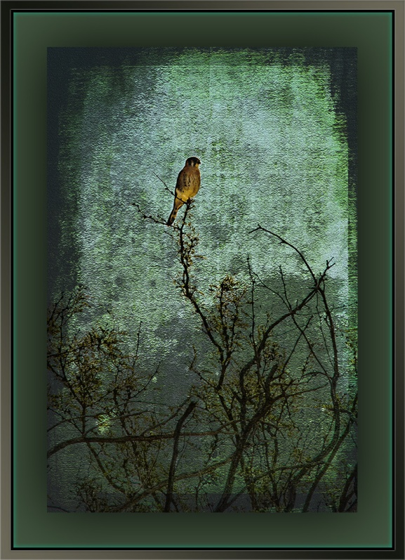 American Kestrel (1 of 1) art blog