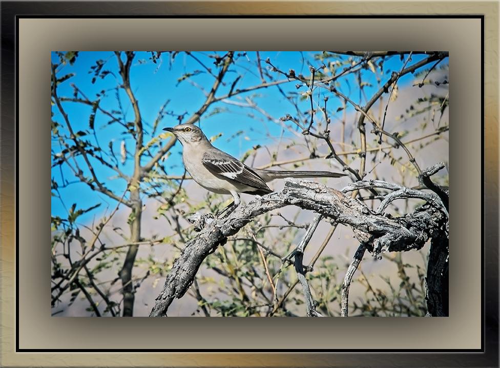 Northern Mockingbird (1 of 1) blog