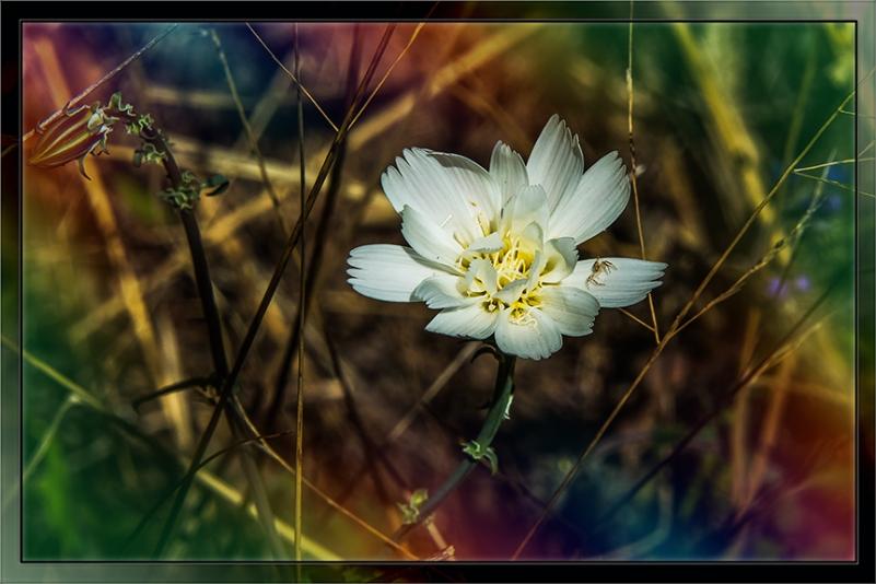 Desert Chicory (1 of 1) art blog
