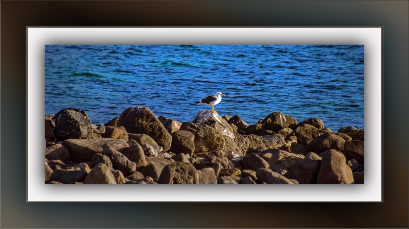 Guaymas Seagull (1 of 1) blog