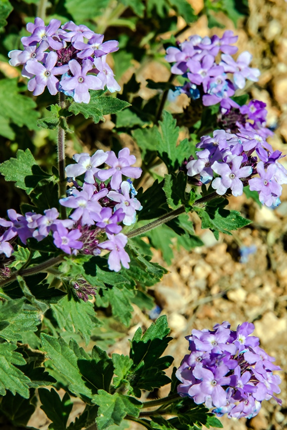 Mexican Vervain (1 of 1)-2 blog