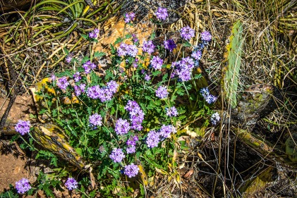 Mexican Vervain (1 of 1)-4 blog