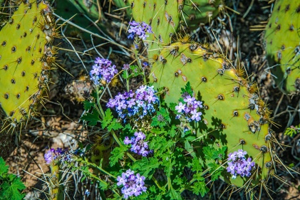 Mexican Vervain (1 of 1) blog