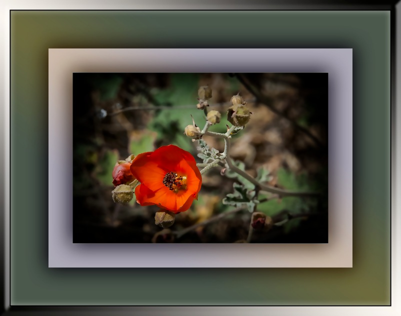 Caliche globemallow (1 of 1) art blog