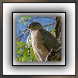 Cooper's Hawk (1 of 1)-5 blog