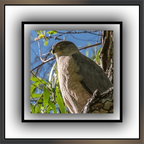 Cooper's Hawk (1 of 1)-5 blog