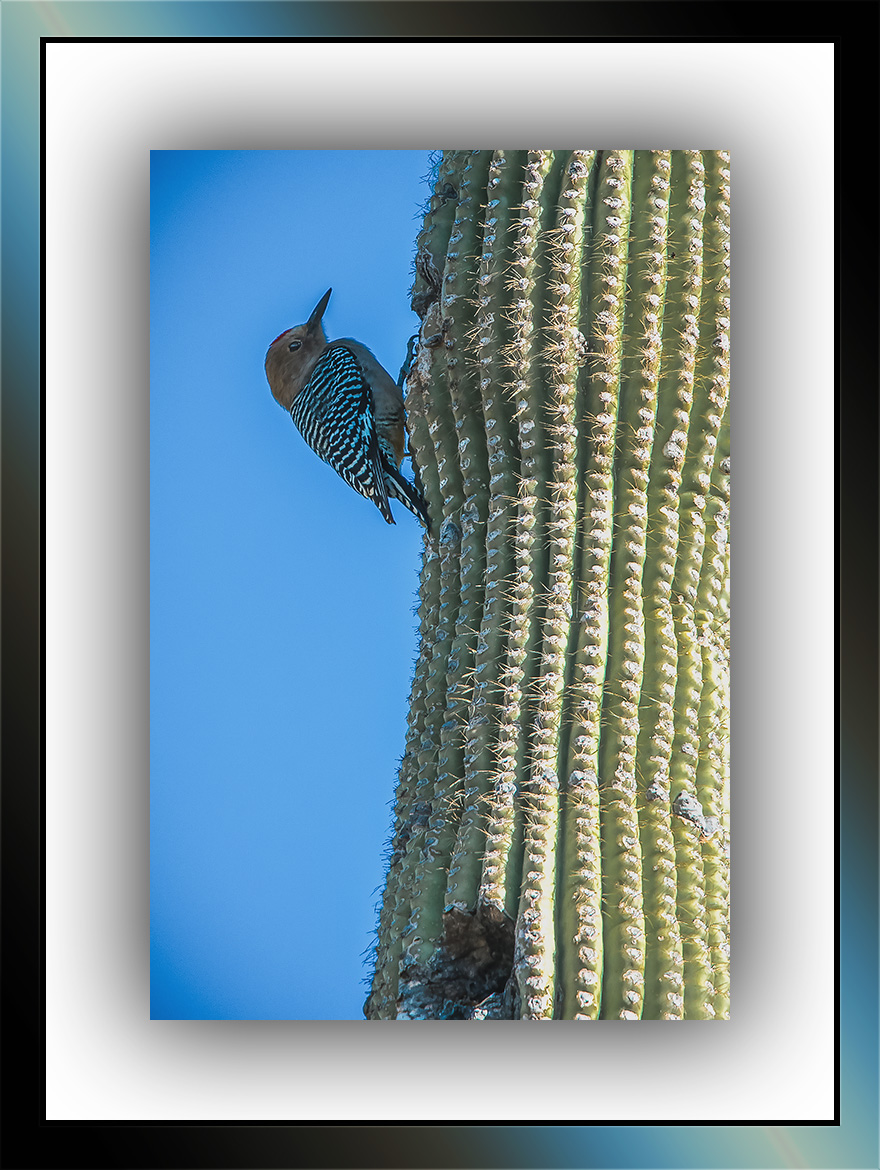 Gila Woodpecker (1 of 1)-2 blog