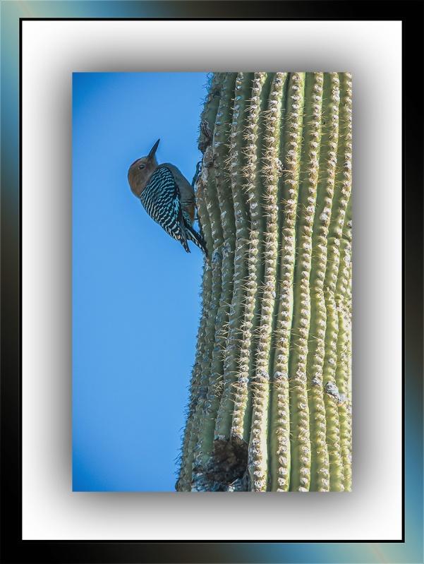Gila Woodpecker (1 of 1)-2 blog