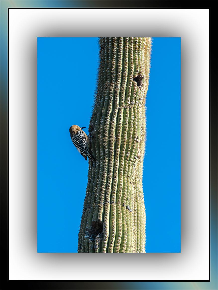Gila Woodpecker (1 of 1) blog