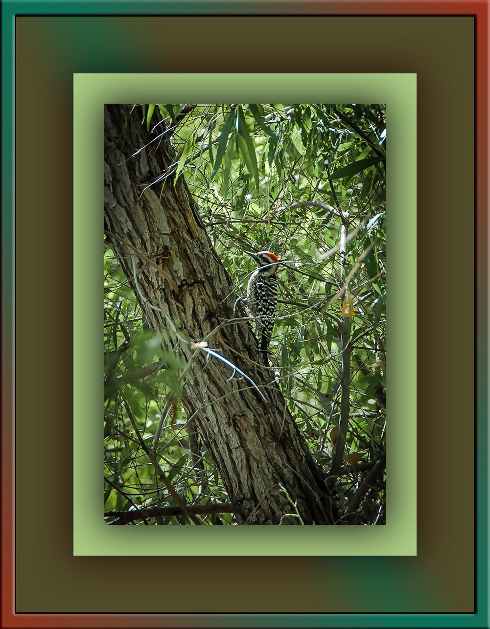 Ladder-backed Woodpecker (1 of 1) blog