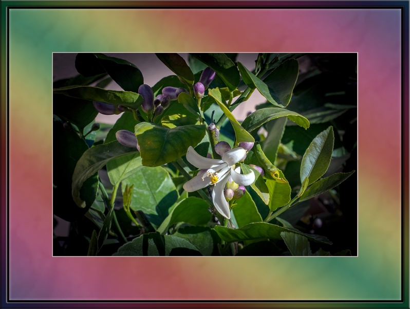 Lemon Tree Blossons (1 of 1)-4 blog