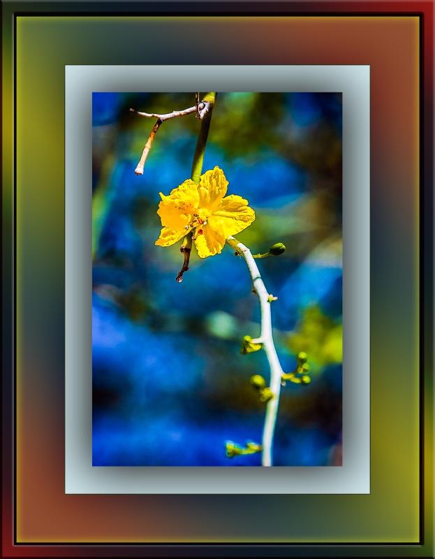 Palo Verde blossom (1 of 1)-2 blog