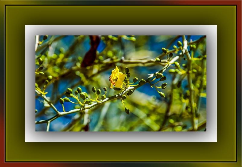 Palo Verde blossom (1 of 1) blog