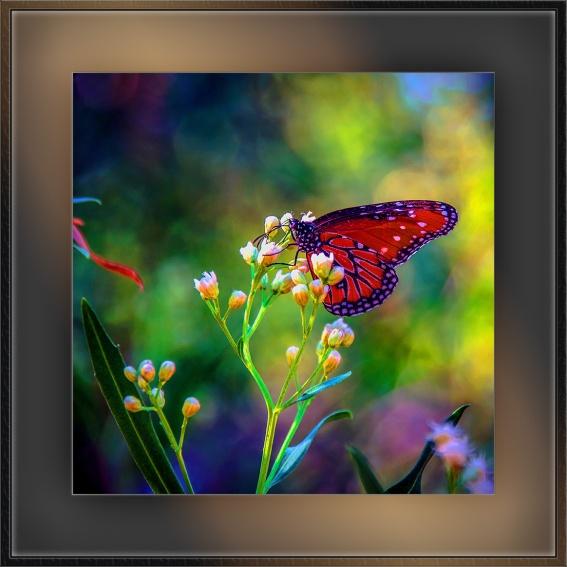 Queen Butterfly (1 of 1)-2 blog