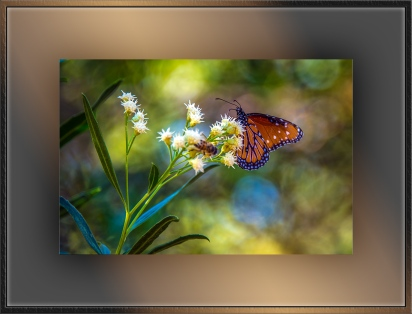 Queen Butterfly (1 of 1) blog
