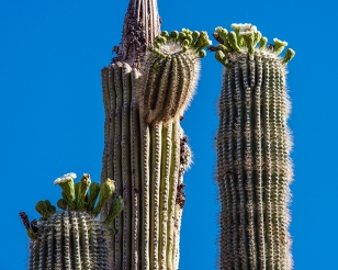 Saguaro flowers (1 of 1)-2 blog