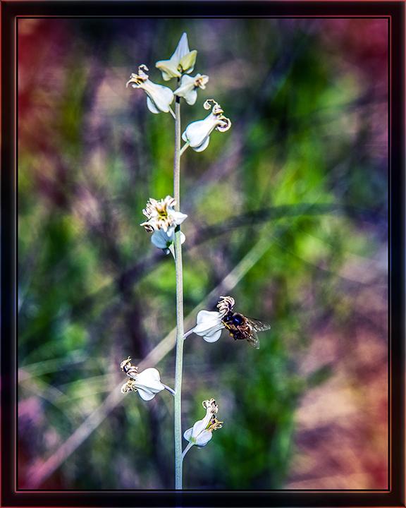 Streptanthus carinatus – Lyreleaf Jewelflower (1 of 1)-2 art blog