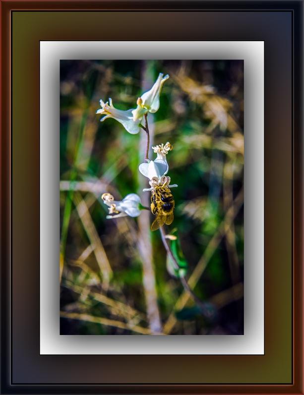 Streptanthus carinatus – Lyreleaf Jewelflower (1 of 1) blog