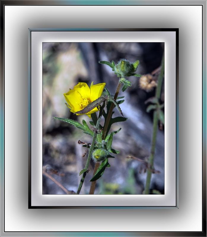 yellow wildflower (1 of 1)-2 evening primrose blog